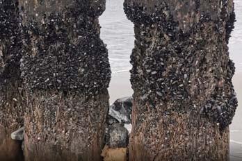 shipworms eat wooden pier